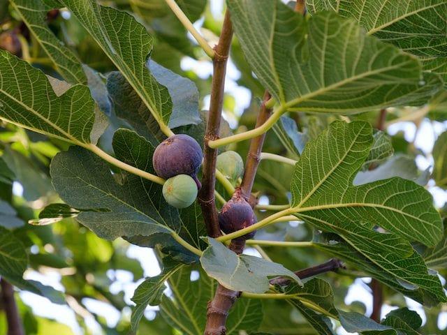 درخت و میوه انجیر